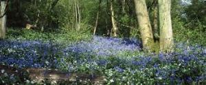 Bluebells glos wildlife trust